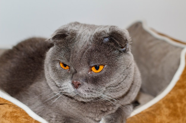 Il mio animale domestico amorevole e adorabile. un gatto scottish fold chiamato pelusi grigio e occhi arancioni.