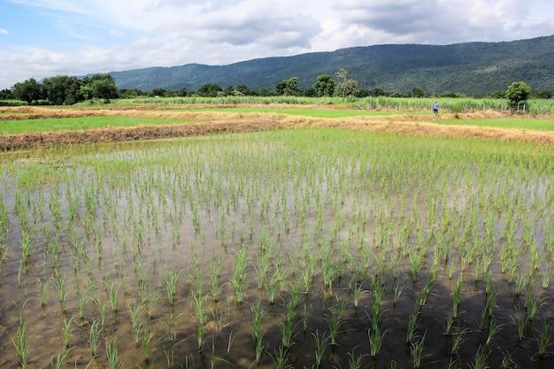 Il mio campo è bellissimo lopburi. tailandia