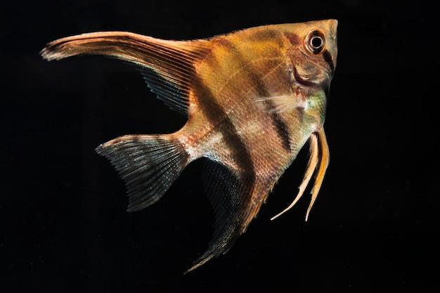 Il momento commovente della mezzaluna siamese betta pesce close-up