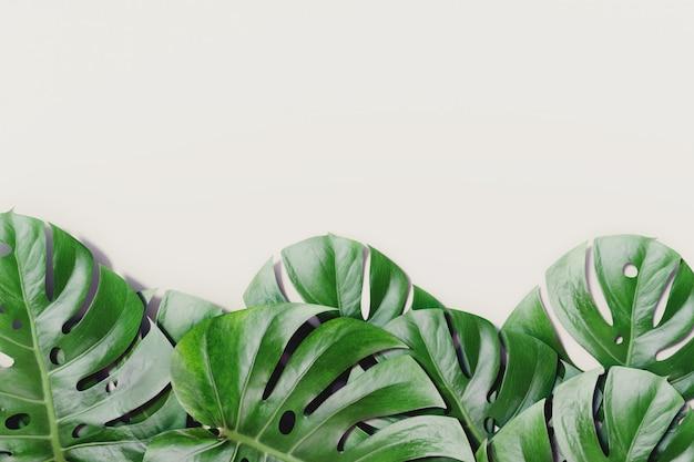 Il monstera tropicale va su fondo luminoso bianco. concetto di natura estate.
