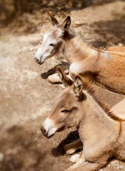 Il mulo dell'asino nel campo mediterraneo di ulivo di maiorca