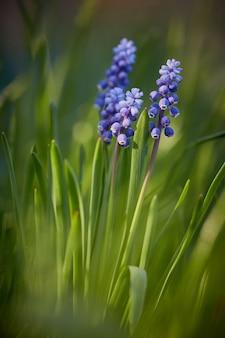 Il muscari blu fiorisce nei raggi del tramonto