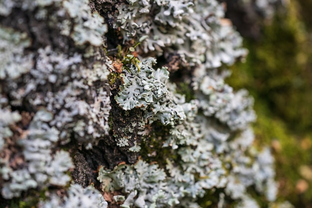 Il muschio e il lichene verdi crescono su un primo piano del tronco di albero.