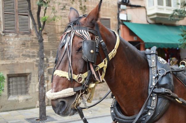 Il muso di un cavallo marrone imbrigliato close-up, il centro turistico di palma di maiorca