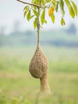 Il nido dell'uccello del tessitore appende sul ramo di albero con il fondo verde della sfuocatura della natura