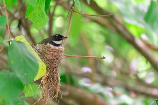 Il nido della gazza in natura.