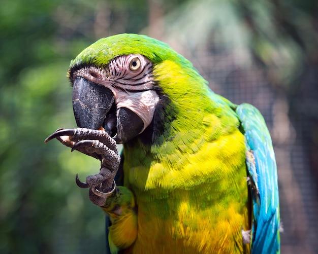 Il nucleo del pappagallo si nutre in natura.