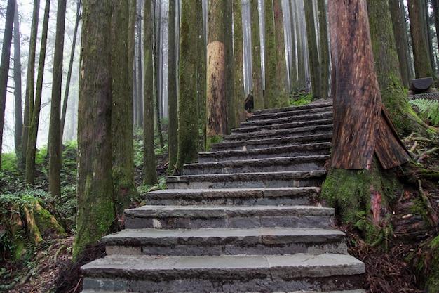 Il passaggio pedonale da legno nella foresta di alishan al parco nazionale di alishan, taiwan