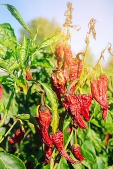 Il peperone rosso caldo appassito secco cresce nel campo. malattia vegetale. riscaldamento globale e raccolta