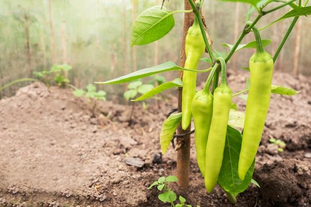 Il peperone verde caldo cresce su un ramo in una serra