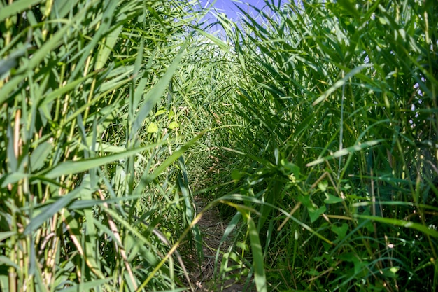 Il percorso tra le canne verdi.