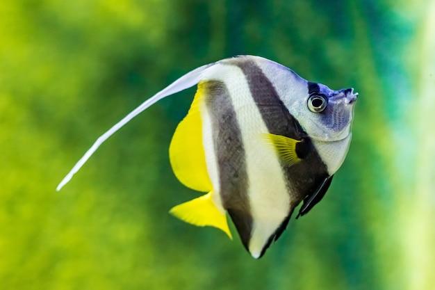 Il pesce corallo gagliardetto (heniochus acuminatus), noto anche come il pesce bandiera longfin, bannerfish della barriera corallina o cocchiere sul verde