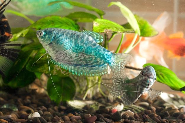 Il pesce dell'acquario sta nuotando nell'acqua con le piante verdi dietro
