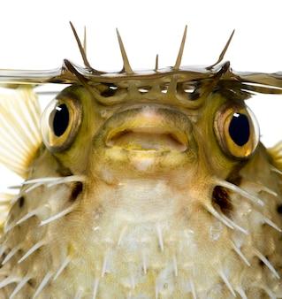 Il pesce istrice a spina dorsale anche conosciuto come balloonfish coperto di spine - diodon holocanthus su bianco isolato