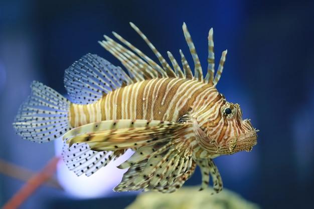Il pesce leone sta nuotando nella barriera corallina.