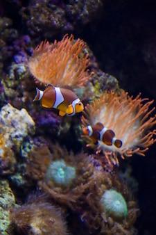 Il pesce pagliaccio tropicale nuota vicino alla barriera corallina