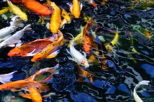 Il pesce variopinto variopinto della carpa o il pesce koi stanno nuotando. koi fish nuotare nello stagno.