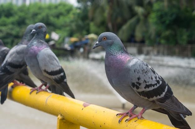 Il piccione con sfocatura dello sfondo.