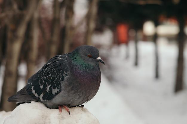 Il piccione grigio si siede su cumulo di neve in parco sugli alberi nell'inverno.