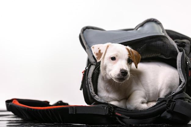 Il piccolo cane sveglio si siede in una borsa nera e guarda avanti