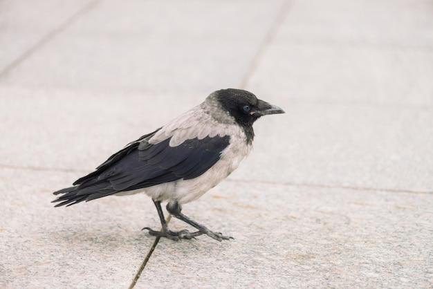 Il piccolo corvo nero cammina sul marciapiede grigio con lo spazio della copia. sfondo di pavimentazione con piccolo corvo. punti dell'uccello selvaggio sulla fine dell'asfalto in su. animale predatore della fauna cittadina.