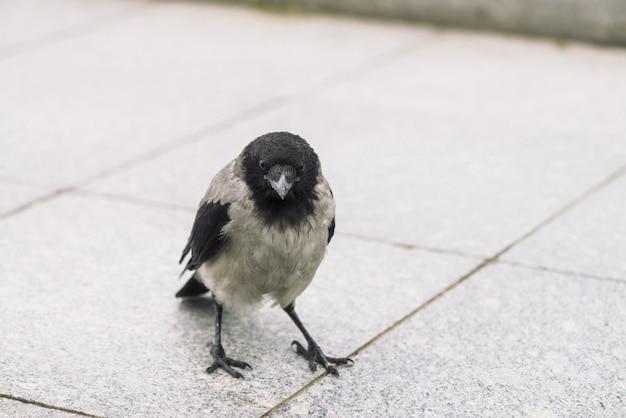 Il piccolo corvo nero cammina sul marciapiede grigio con lo spazio della copia. sfondo di pavimentazione con piccolo corvo.