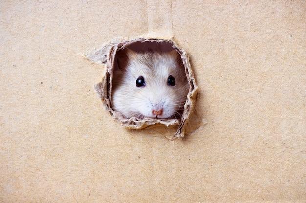 Il piccolo criceto guarda attraverso un foro rotondo nella scatola di cartone
