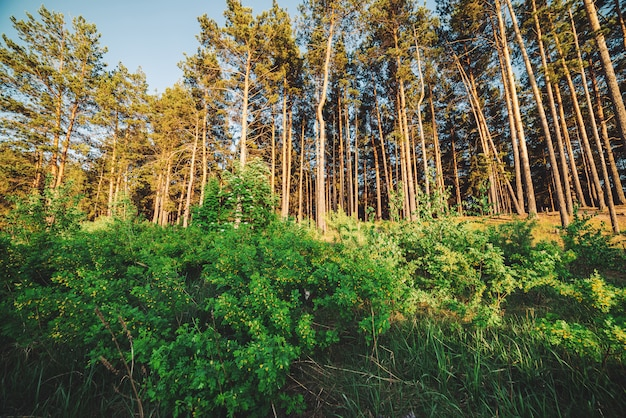 Il piccolo gattino che si nasconde nei boschetti si avvicina alla foresta di conifere. piccolo gatto nel bush. fiori gialli del celidonia sul bordo del legno. paesaggio soleggiato con alberi di conifere. paesaggio con alti pini alla luce del sole.