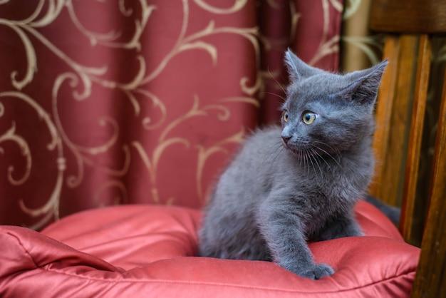 Il piccolo gattino grigio