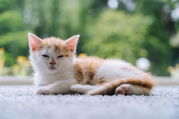 Il piccolo gatto rosso sveglio resta sul pavimento di legno con la finestra. giovane carino piccolo gattino rosso. gattino dai capelli lunghi dello zenzero gioca a casa. simpatici animali domestici divertenti. animali domestici e gattini giovani