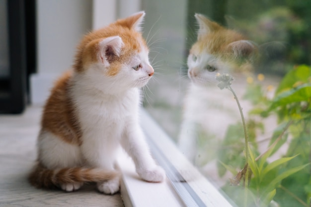 Il piccolo gatto rosso sveglio si siede sul pavimento di legno vicino alla finestra. giovane piccolo gattino rosso che esamina la sua riflessione in finestra. gattino ginger. simpatici animali domestici. animali domestici e gattini giovani. messa a fuoco selettiva.
