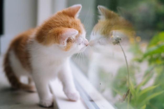 Il piccolo gatto rosso sveglio si siede sul pavimento di legno vicino alla finestra. giovane piccolo gattino rosso che osserva fuori finestra. gattino dello zenzero che esamina la sua riflessione in finestra. simpatici animali domestici. animali domestici e gattini giovani