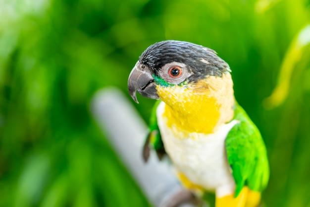Il piccolo pappagallo verde giallo ha chiuso il colpo