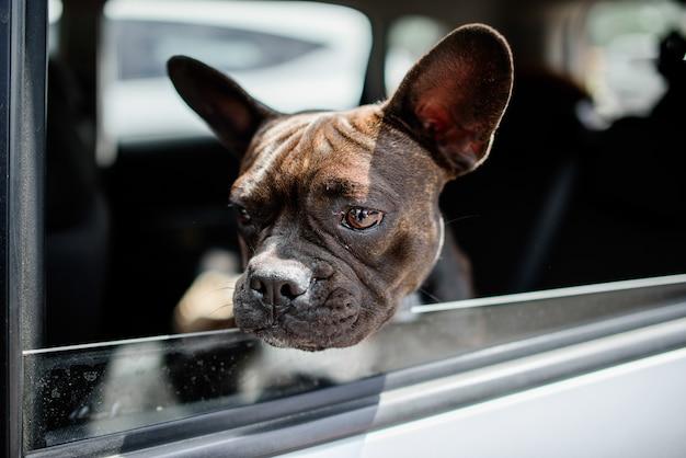 Il piccolo pug divertente si siede nell'automobile