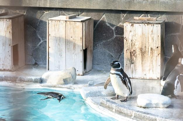Il pinguino mostra in uno zoo in una città turistica.