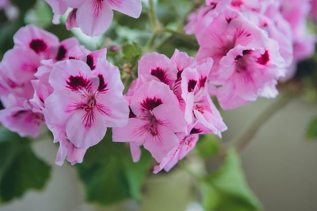 Il pink regal pelargonium è una pianta da casa e da giardino che è anche conosciuta come regal geranium o â € œpelargonium grandiflorumâ €