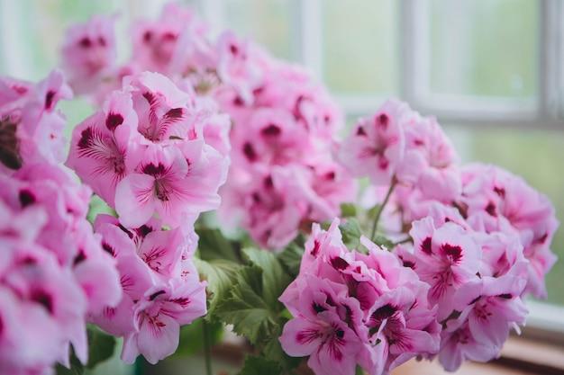 Il pink regal pelargonium è una pianta domestica e da giardino che è anche conosciuta come regal geranium o pelargonium grandiflorum