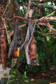 Il pipistrello nella foresta delle scimmie, zoo di bali, indonesia