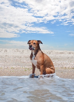 Il pitbull terrier americano sta sedendosi sulla spiaggia