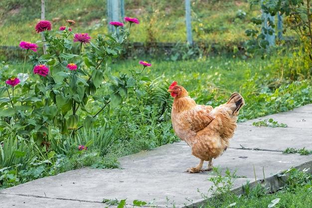 Il pollo passeggia nel giardino della fattoria vicino ai fiori rosa