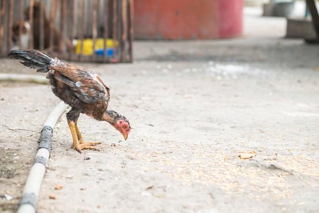 Il pollo sottile del primo piano che mangia la risaia sul suolo ha frantumato il fondo con lo spazio della copia