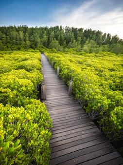 Il ponticello di legno nella foresta della mangrovia alla conserva di natura alla cinghia della cinghia di tung, tailandia.