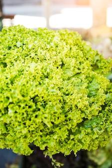Il primo piano del cavolo organico verde lascia la verdura