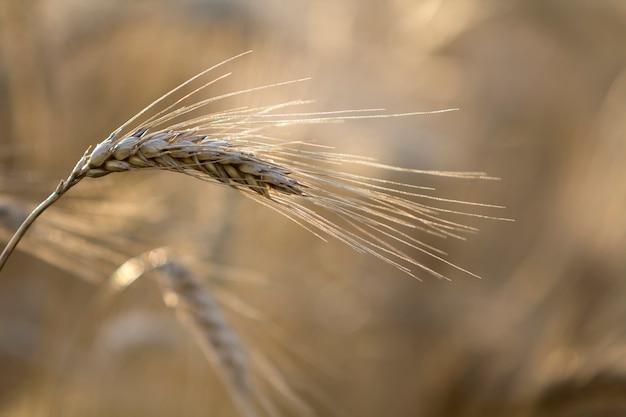 Il primo piano del grano messo a fuoco maturo maturo giallo dorato colorato caldo si dirige il giorno di estate soleggiato sul giacimento di grano nebbioso vago molle del prato marrone chiaro. agricoltura, agricoltura e concetto di raccolto ricco.