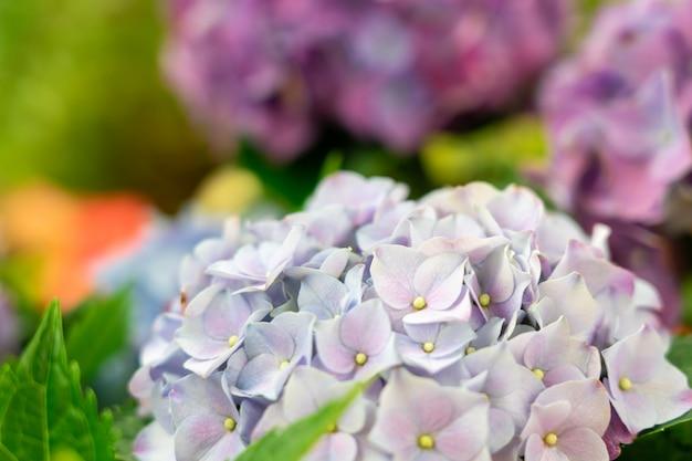 Il primo piano dell'ortensia verde (macrophylla dell'ortensia) sta fiorendo in primavera