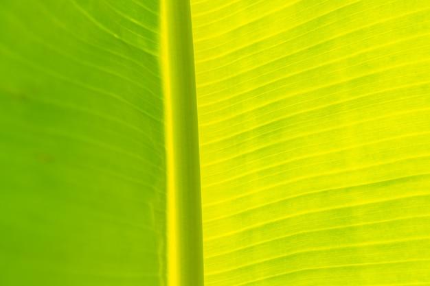 Il primo piano della banana lascia sui banani che vedono la superficie della struttura del fondo attraverso la luce