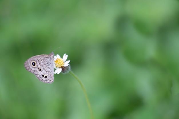 Il primo piano delle farfalle succhia la capacità del nettare.