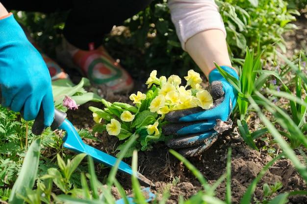 Il primo piano delle mani della donna che piantano la primaverina gialla fiorisce in giardino