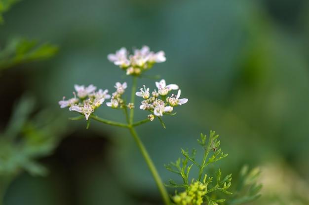 Il primo piano di coriandolo fiorisce sulla pianta in un campo dell'azienda agricola