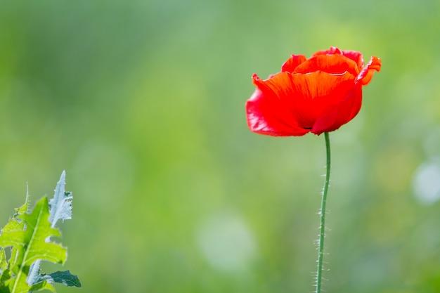 Il primo piano di fioritura tenera si è acceso dal fiore rosso rosso del papavero del sole uno di estate sull'alto gambo sul fondo verde intenso vago dell'estate del bokeh. bellezza e tenerezza del concetto di natura.